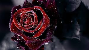 rose, flower, image